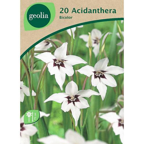 Bulbo de acidanthera geolia bicolor