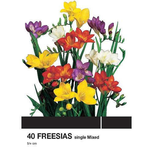 Bulbo de fresia geolia simples mezcla