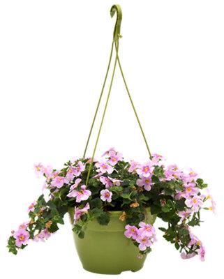Planta con flores perenne en maceta de 15 cm